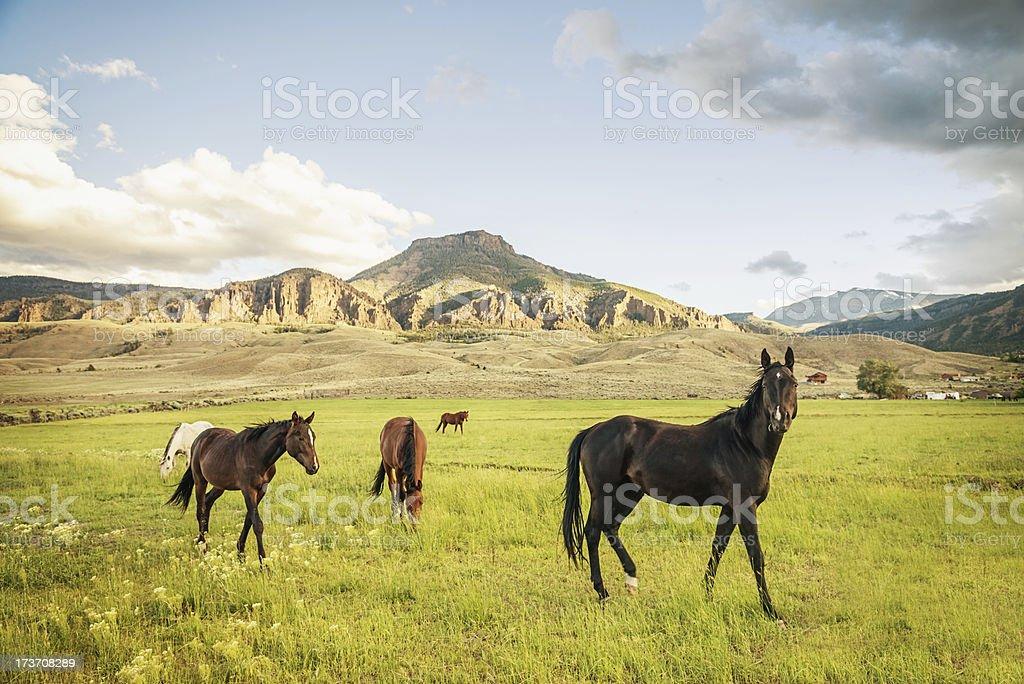 Herd of Wild Horses royalty-free stock photo