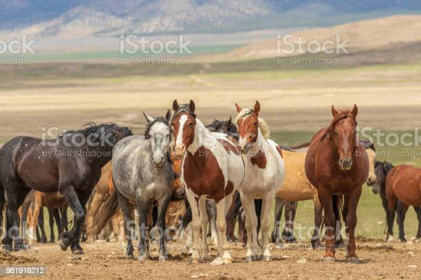 Herd of wild horses picture id981916212?b=1&k=6&m=981916212&s=612x612&h=5qxwi7ws947mjo4lrrh2rgono74uk nd2hk9rfr3gqm=