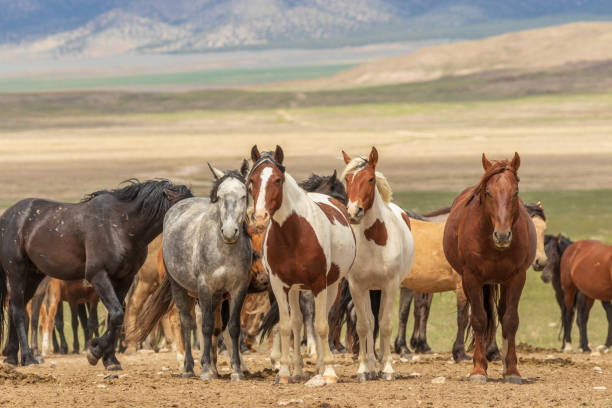 herd of wild horses - fauna selvatica foto e immagini stock