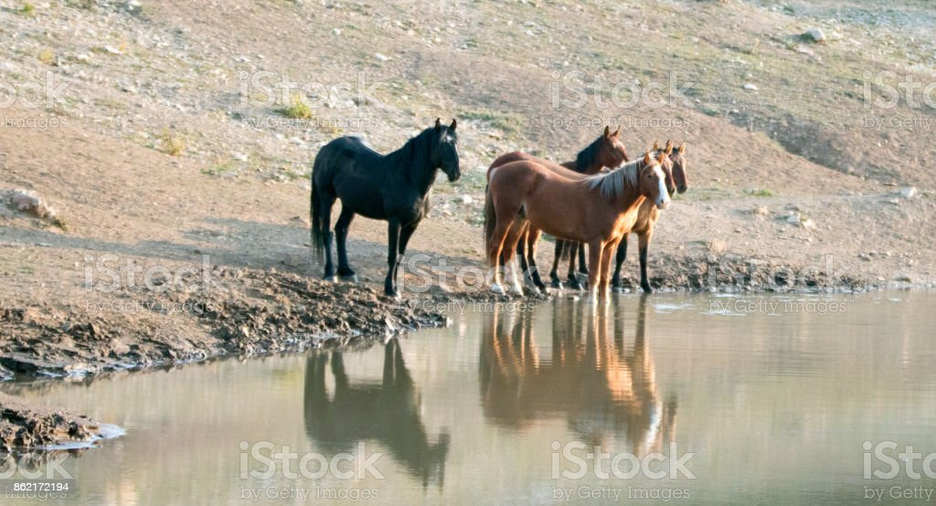 Herd (small band) of wild horses reflecting in the water at the waterhole in the Pryor Mountains Wild Horse Range in Montana United States stock photo