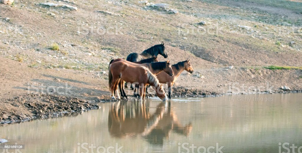 Herd of wild horses reflecting in the water while drinking at the waterhole in the Pryor Mountains Wild Horse Range in Montana United States stock photo