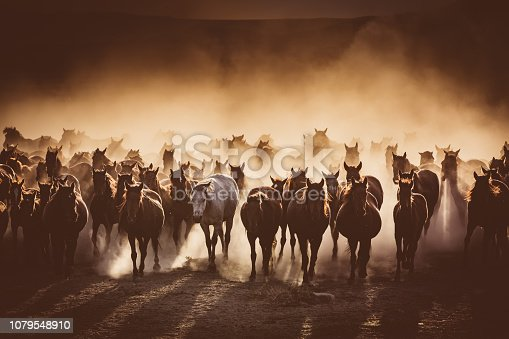Herd of Wild Horses Running in Dust kayseri TURKEY