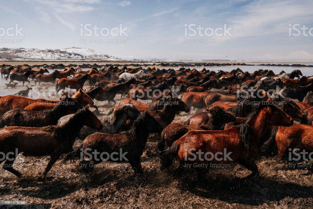 Herde von Wildpferden im Wasser laufen – Foto