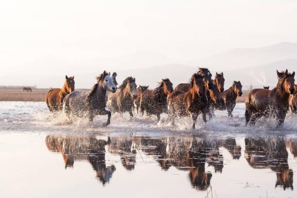 mandria di cavalli selvaggi che corrono in acqua - fauna selvatica foto e immagini stock
