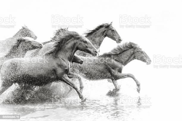 Herd of wild horses running in water picture id688868676?b=1&k=6&m=688868676&s=612x612&h=yw6idngyjhqucnci srqiljcms97vq lkraubxzbf0y=