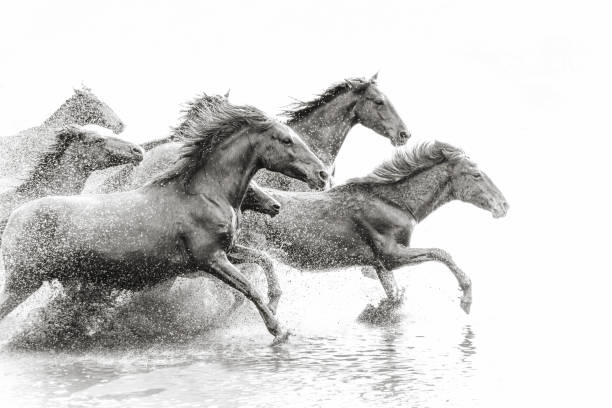 Herd of wild horses running in water picture id688868676?b=1&k=6&m=688868676&s=612x612&w=0&h=2hld9ich3vlf4dworaygw6sfm3uov7quqzw au0yudc=
