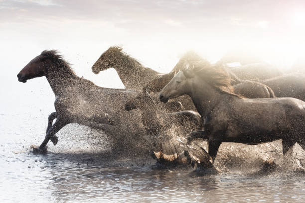 Herd of Wild Horses Running in Water stock photo