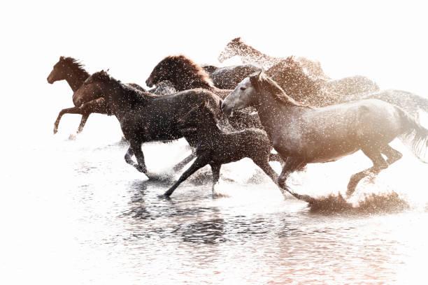 Herd of wild horses running in water picture id913637468?b=1&k=6&m=913637468&s=612x612&w=0&h=4mjjp2rgbfxaeuln ecaokfutfgibvlcnpirepxzcce=