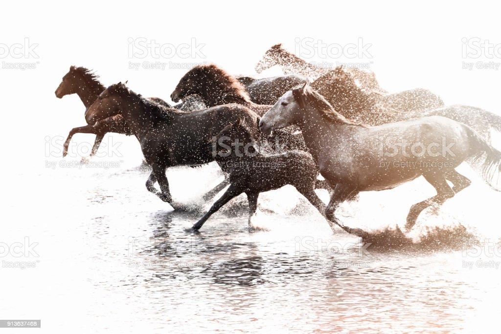 Manada de caballos salvajes corriendo en agua - foto de stock