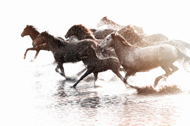 herd of wild horses running in water - wildlife stock photos and pictures