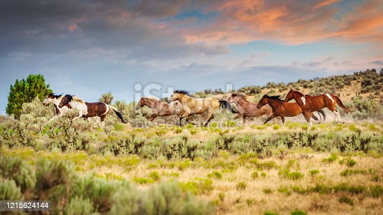 Herd of young wild horses running together on prairie grassland in warm evening light close to dusk under beautiful sunset twilight. Utah, USA.