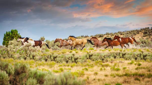 Herd of Wild Horses Running Utah USA stock photo
