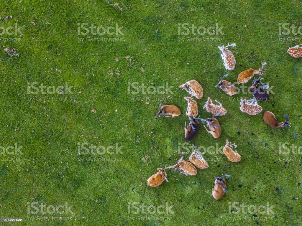 Herd of wild red deer in the Phoenix Park, Dublin, Ireland stock photo