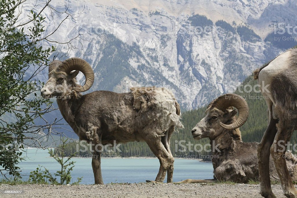 Herd of wild sheep in front of a lake stock photo