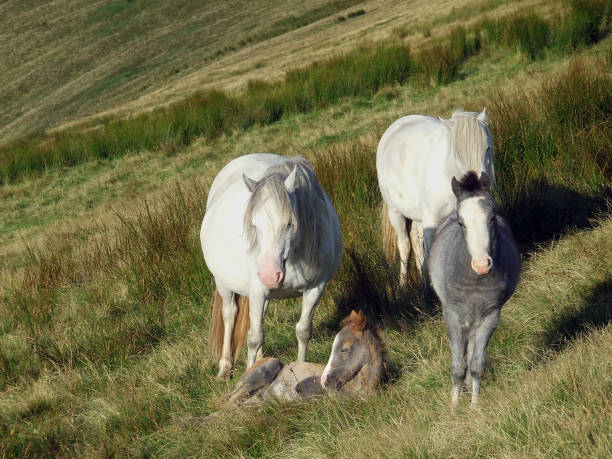 A herd of wild welsh ponies with a young foal on Pen y Fan, the highest mountain in southern Britain in the Brecon Beacons National Park, Wales, UK stock photo