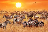 Herd of wild zebras and wildebeest in the African savanna against a beautiful orange sunset. The wild nature of Tanzania. Artistic natural image.