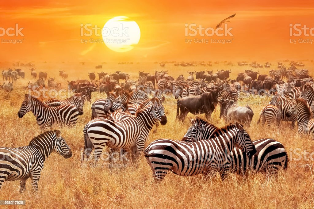 Herd of wild zebras and wildebeest in the African savanna against a beautiful orange sunset. The wild nature of Tanzania. Artistic natural image. stock photo