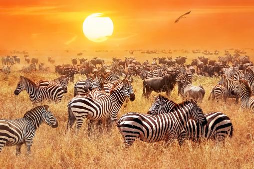 Foto de Bando De Selvagens Zebras E Gnus Na Savana Africana Contra Um Belo Pôr Do