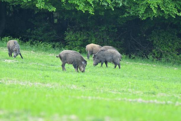 herd of wildboar on the meadow stock photo