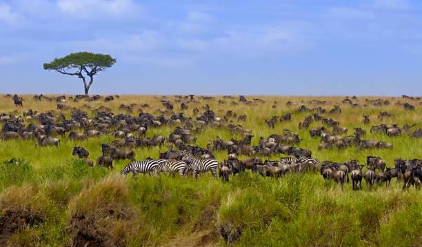 Herd of wildebeest antelope picture id944942170?b=1&k=6&m=944942170&s=612x612&w=0&h=idyi4k6ns5tbsqgpjeb1 eczdkpjtqfy5jrf4yj6yz8=