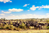 A herd of wildebeest during great migration in Masai Mara National Park. Kenya, Africa