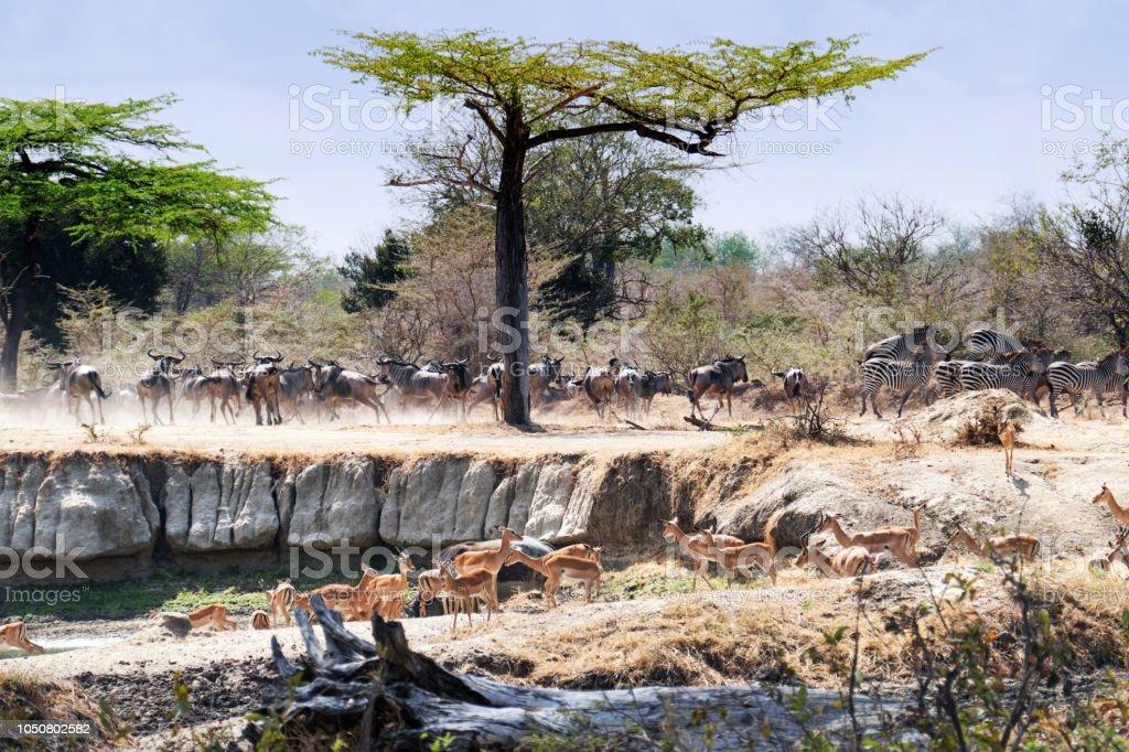 Troupeau de gnous, impalas et certaines commandes zèbre près de trou d'eau - Photo