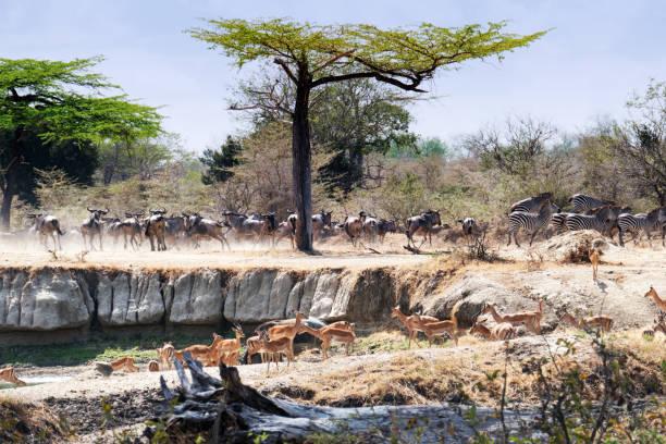 Herd of wildebeest, impala and some  zebra standing near the waterhole stock photo