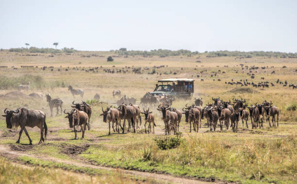 Herd of wildebeests on the savannah in Masai Mara, Kenya. Safari vehicle with tourists in the background Herd of wildebeests on the savannah in Masai Mara, Kenya. Safari vehicle with tourists in the background masai mara national reserve stock pictures, royalty-free photos & images