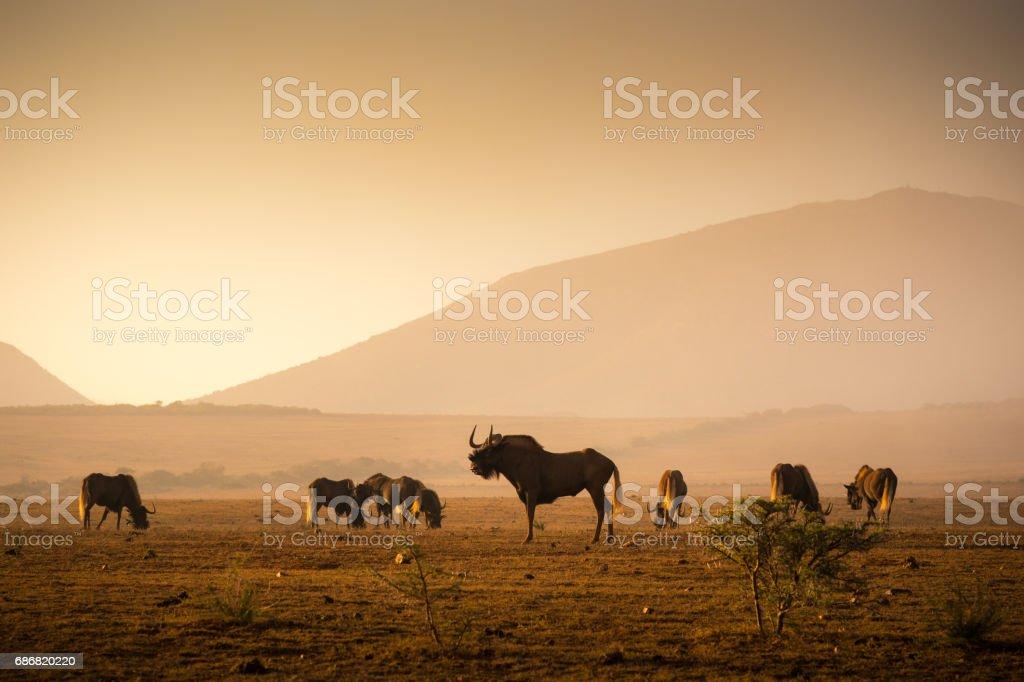 Herd of Wilderbeest grazing in the African savannah stock photo