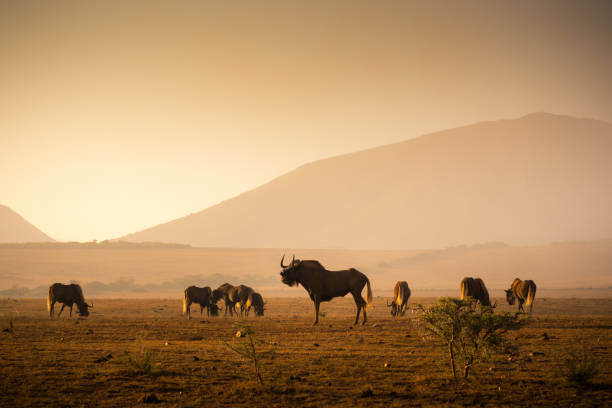 Herd of Wilderbeest grazing in the African savannah stock photo