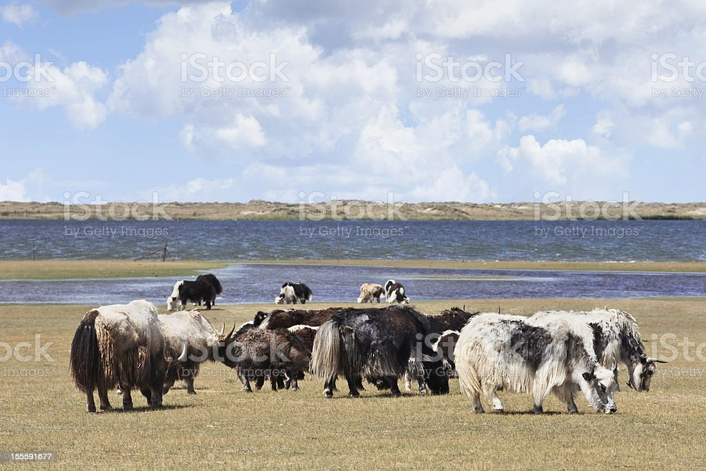 Herd of yaks at Qinghai Lake shore stock photo