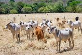 White Brahman cross bull on the run