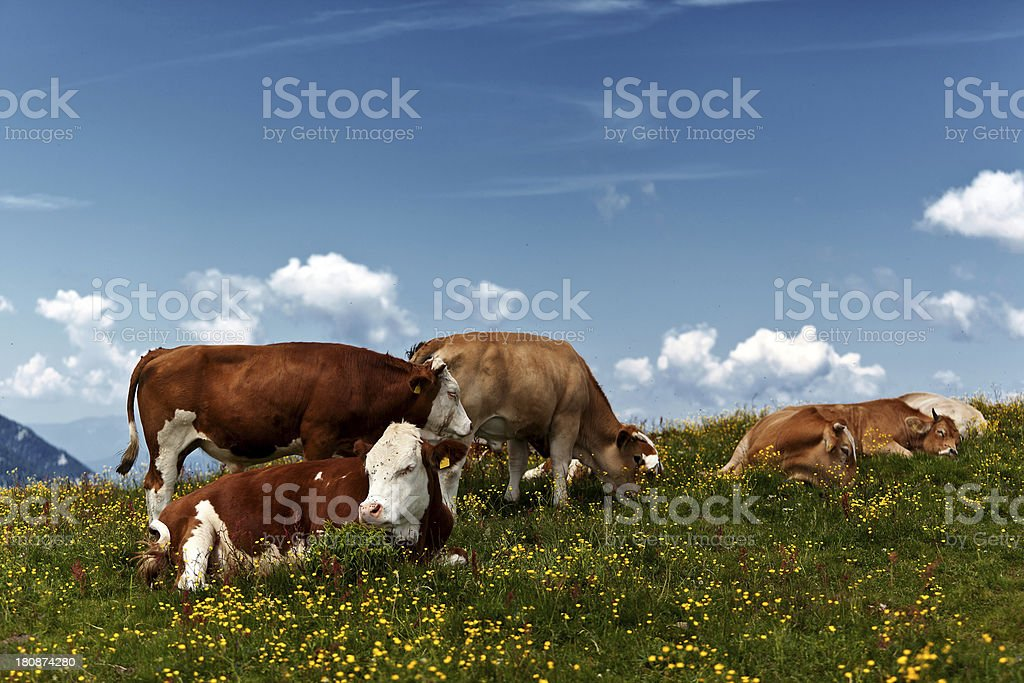 herd of young bulls sleeping on a meadow stock photo
