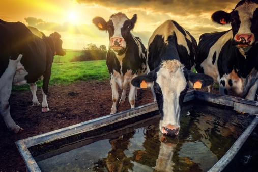 istock Herd of young calves drinking water 471972925