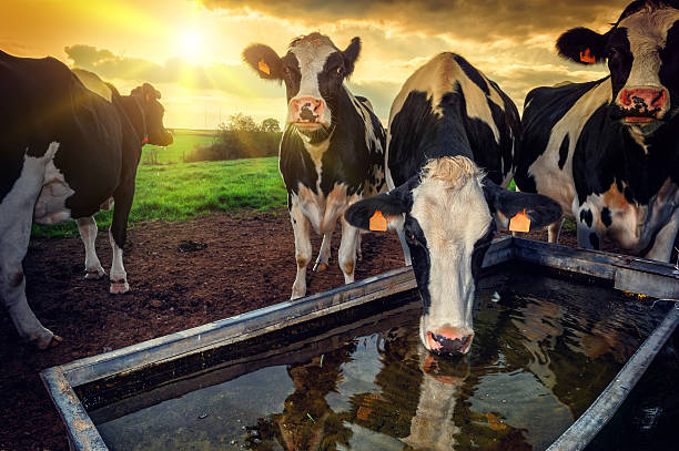 Herd of young calves drinking water Herd of young calves drinking water at sunset dairy farm stock pictures, royalty-free photos & images