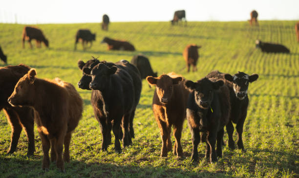 Herd of young cows A young steer in the meadow calf stock pictures, royalty-free photos & images