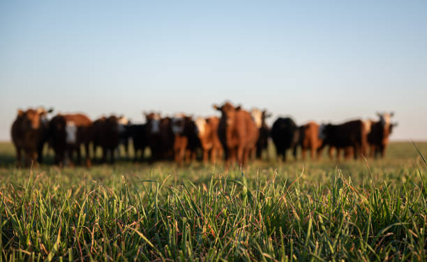 Herd of young cows Group of young steers in the meadow livestock stock pictures, royalty-free photos & images