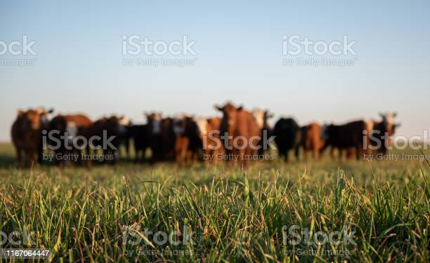 Photo of Herd of young cows