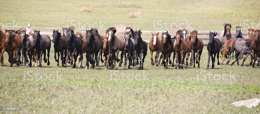 herd of young horses royalty-free stock photo