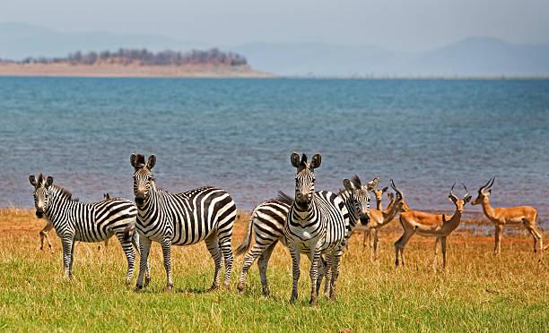 Herd of Zebra and Impala next to Lake Kariba – Foto
