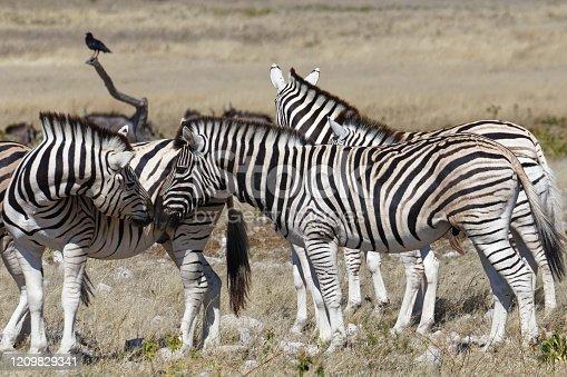 A small herd of plains zebra, Etosha National Park, Namibia, Africa.