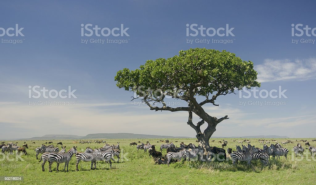 Herd of Zebra in the Serengeti stock photo