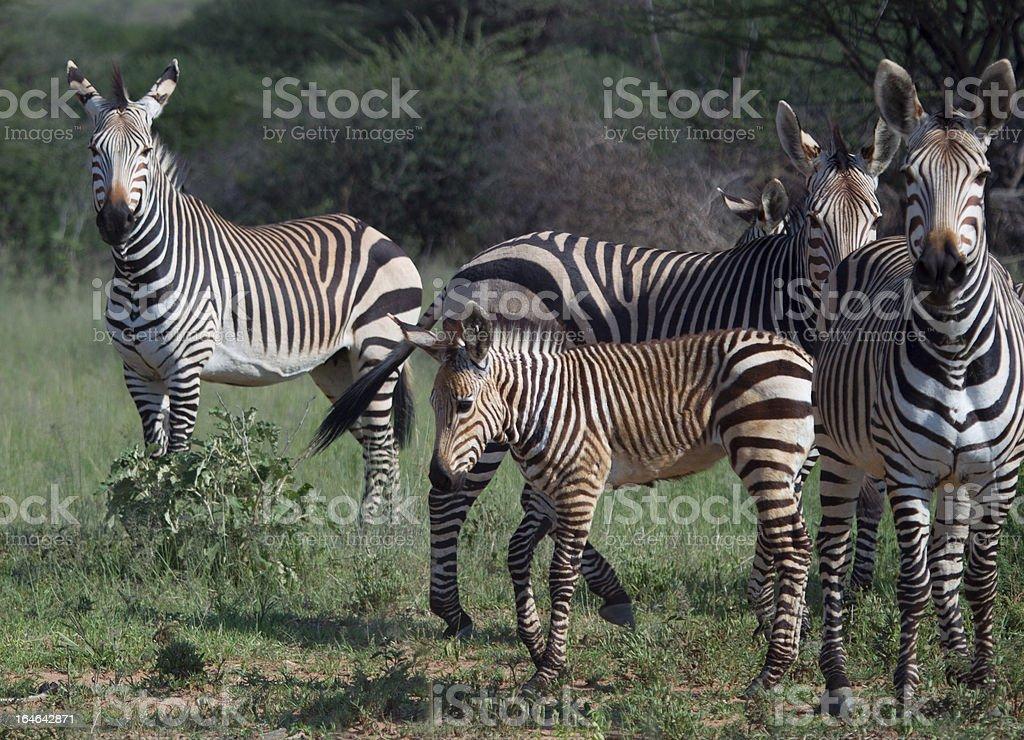 Herd of Zebra royalty-free stock photo