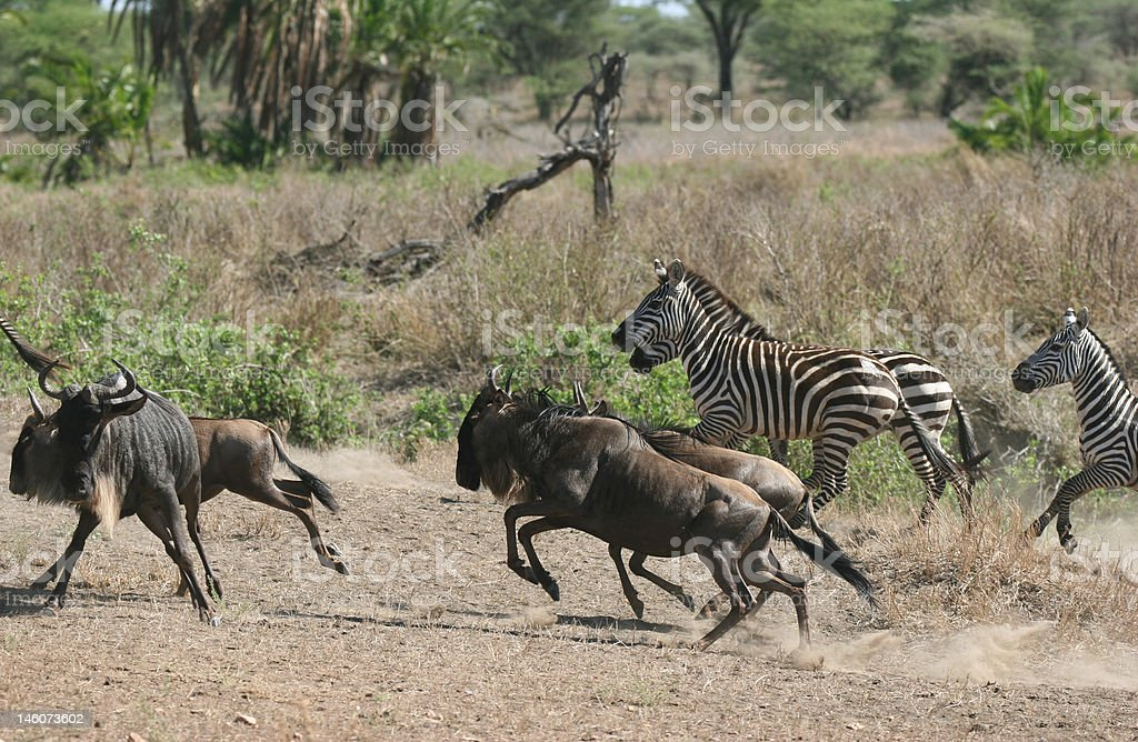 Herd of Zebras and Wildebeests royalty-free stock photo