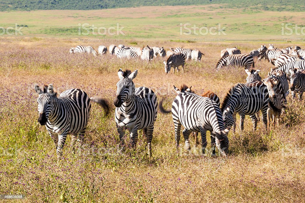 Herd Of Zebras stock photo