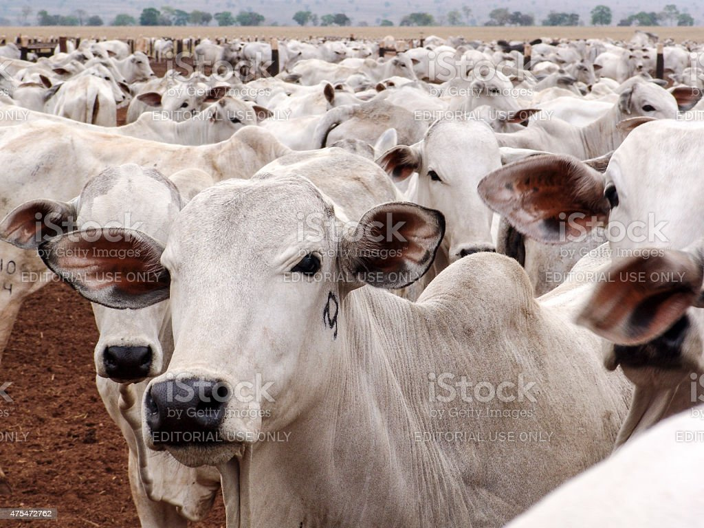 Herd Mato Grosso, Brazil, September 30, 2004: A group of Nelore cattle herded in confinement in a cattle farm in Mato Grosso state, Brazil 2015 Stock Photo
