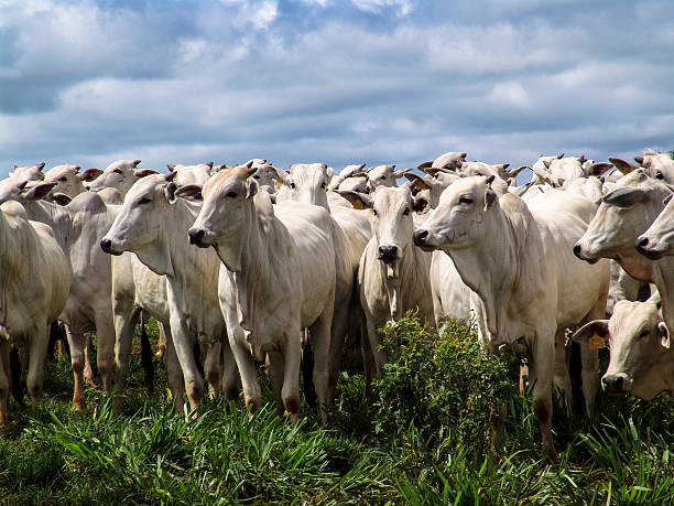 Herd A group of Nelore cattle being herd through a field in a cattle farm in Brazil cattle stock pictures, royalty-free photos & images