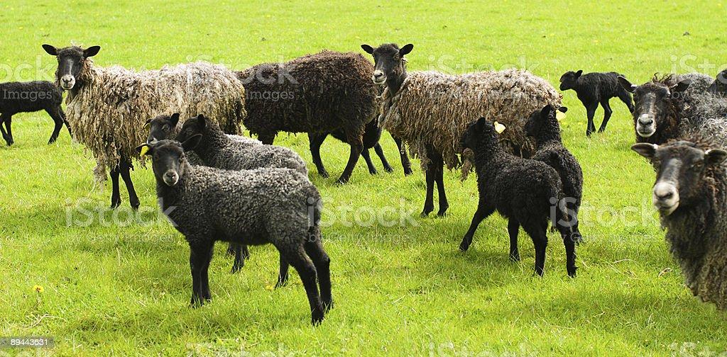 Herd royalty-free stock photo