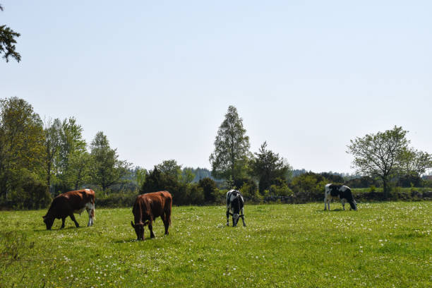 Herd with grazing cattle in a green grassland stock photo