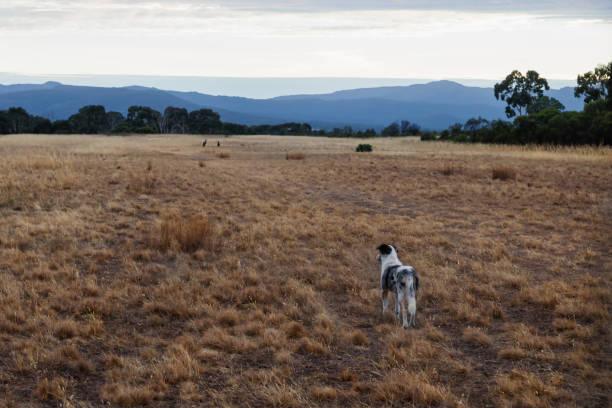 Herder dog on a field watching kangeroos in a distance at the Grampians, Victoria, Australia stock photo